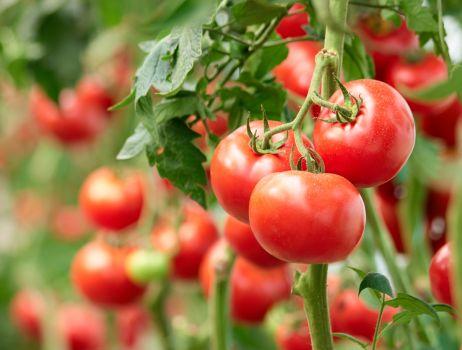 pomidor-iStock