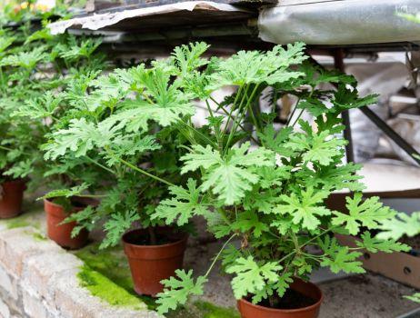 iStock-geranium-min