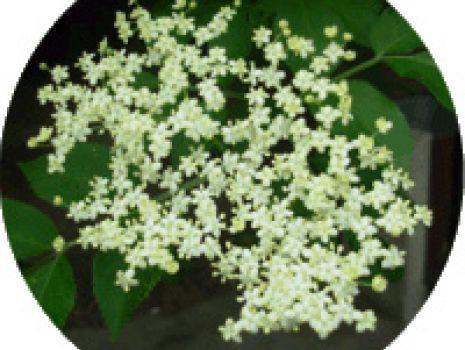 Przepis: Syrop z kwiatu czarnego bzu